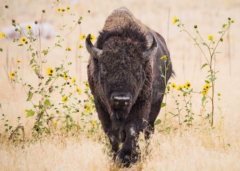 rêve de bison internet satellite